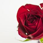 色や本数で意味も変わる! 薔薇(バラ)の奥深い花言葉