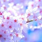 春の訪れを知らせる花 桜の名前の謎深き由来とは?