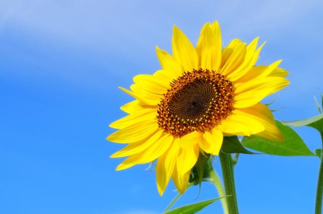 ひまわり が 太陽 の 方 を 向く の は どの 部分 が 関係