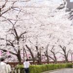 昔は桜より梅が人気?花見の歴史の知られざる変遷を紹介