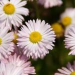 菊の歴史は日本文化とともにあり 高貴な花が愛される理由とは?