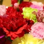 赤以外もOK? 母の日のカーネーション選びは品種、色、花言葉がカギ