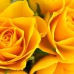父の日の由来 黄色いバラを贈る理由とは?