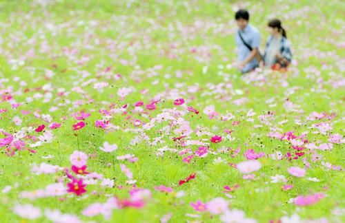 大分県竹田市 くじゅう花公園100万本のコスモス