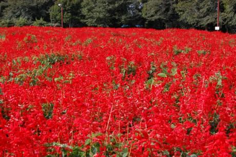 埼玉県さいたま市 「大宮花の丘農林公苑」、サルビア3万3千株が満開に