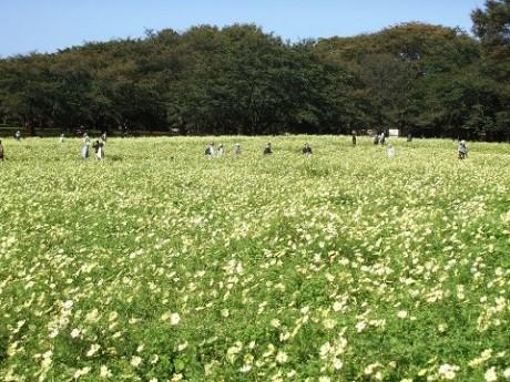東京都立川市 国営昭和記念公園で「コスモスまつり」