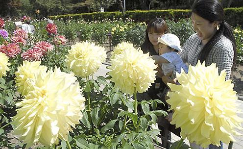 山形県川西街 日本一の規模、川西ダリヤ園が見ごろ色とりどり10万本
