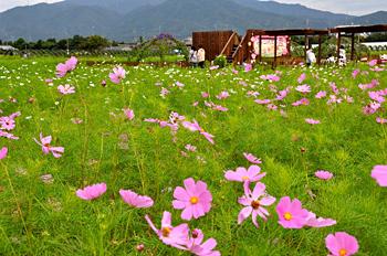 京都府亀岡市 コスモス畑で散策楽しく 観光園オープン