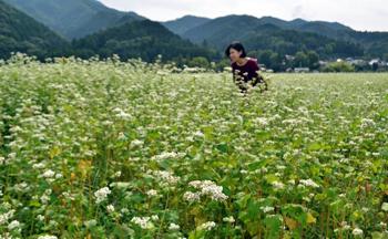 滋賀県多賀町 ソバの花、白いじゅうたん一面