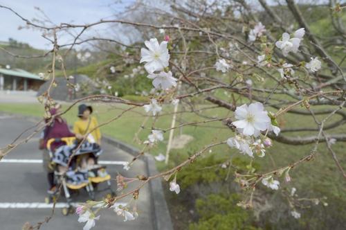 静岡県御前崎市 あらさわふる里公園ジュウガツザクラ見頃