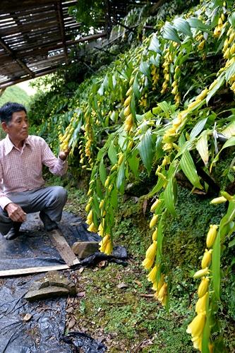 和歌山県すさみ町 キイジョウロウホトトギス見頃 堀野さん手作り園地を開放